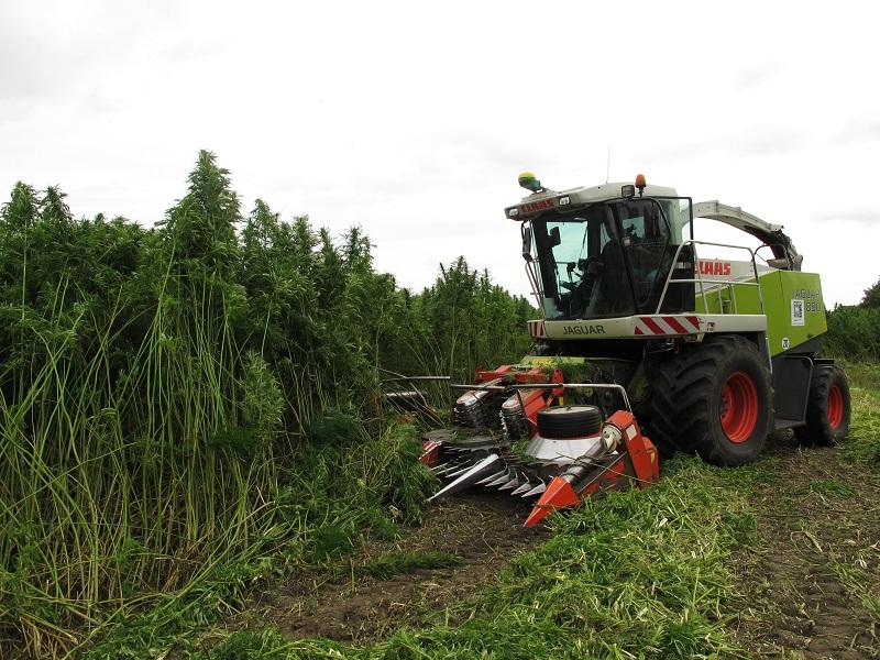 In Groningen staan velden vol industriële hennep.