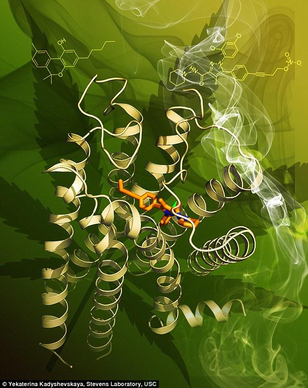 Dit is het scherpste beeld ooit van de CB1 cannabinoidereceptor. De receptor is de gele lint-achtige vorm. Het oranje stokvormige object is de stabiliserende molecuul AM6538. Een van de actieve ingrediënten in cannabis THC, zie je als gele stok-achtige figuur in de afbeelding.