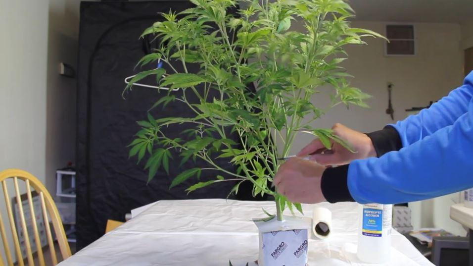 Dief kleine secundaire takjes weg zodat je wietplant zich kan focussen op de toppen die er wel toe doen.
