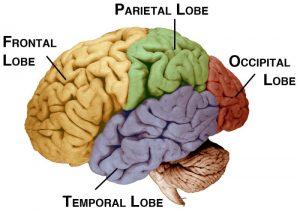 De temporale kwab (paars) speelt een grote rol bij ons langetermijngeheugen en het verwerken van geluid en beelden