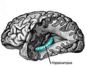 In de hippocampus oftewel het zeepaardje wordt ons kortetermijngeheugen naar langetermijngeheugen omgezet. De hippocampus is een van de eerste gebieden in het brein dat door Alzheimer beschadigd wordt.