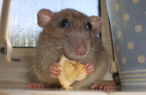 Ratten worden vaak gebruik in onderzoeken naar depressies, omdat zij in bepaalde situaties zelf ook depressief gedrag vertonen (Foto: Scientopia)