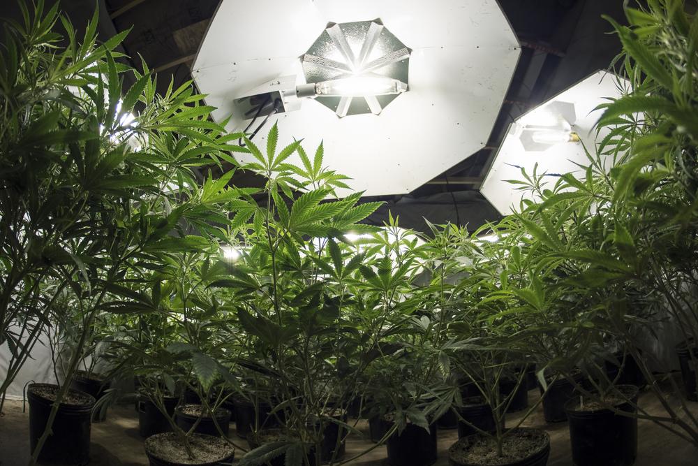 Overlaad je wietplanten met licht voor de beste resultaten! Foto: OpenRangeStock, Shutterstock.com