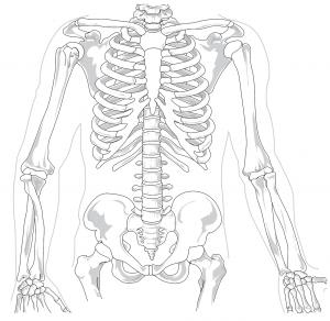 Door middel van CBD en de cannabinoïdereceptoren in het skelet krijgen we sterkere en gezondere botten