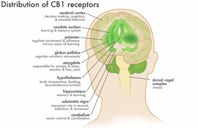 CB1-receptoren in diverse hersengebieden, elk met hun eigen functie binnen ons systeem.