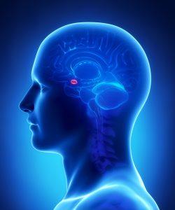 De amygdala is hier in het rood aangegeven. [Foto: shutterstock/CLIPAREA l Custom media]