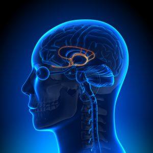 Het limbisch systeem in het oranje uitgelicht. [Foto: shutterstock/decade3d - anatomy online]