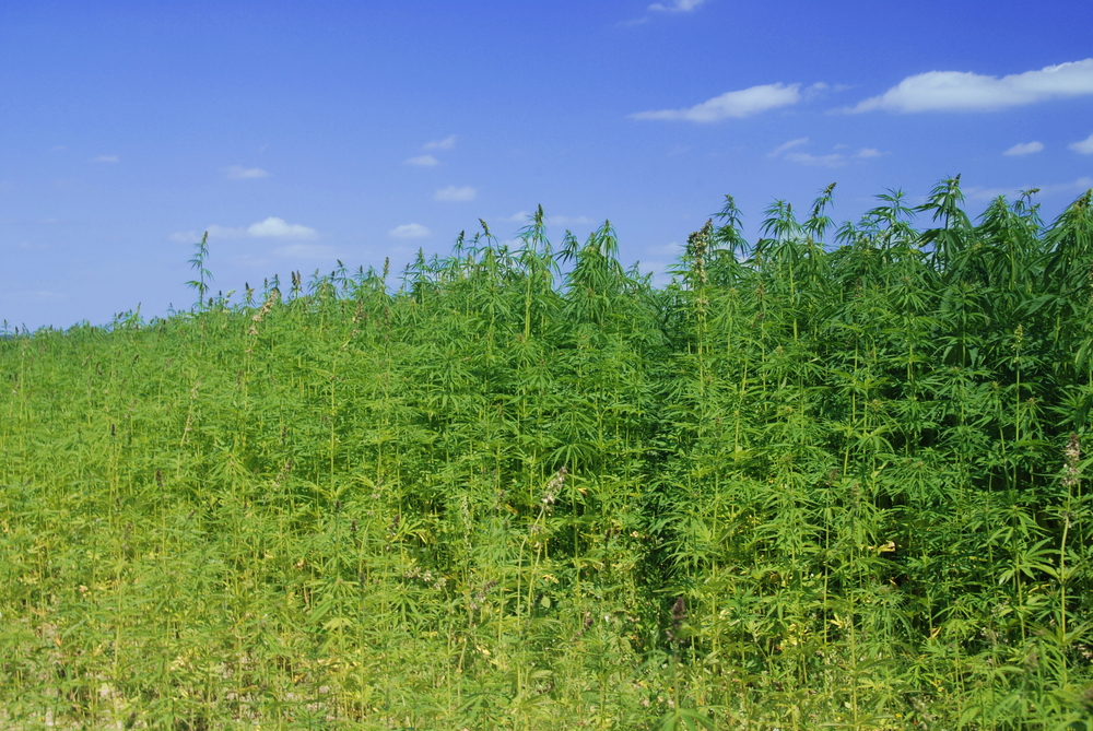 Industriële hennep bevat in tegenstelling tot 'gewone wiet' nauwelijks tot geen THC. [Foto: shutterstock/David Maska]