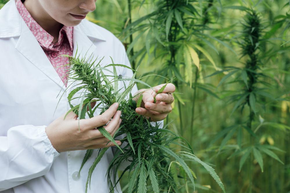 Diverse onderzoeken tonen aan dat terpenen - in dit geval mycreen - een essentiële rol spelen in het medicinale effect van cannabinoïden. [Foto: shutterstock/Stokkete]